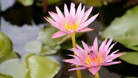 Abelha com o lírio de água roxo cor-de-rosa video estoque