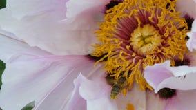 A abelha com o pólen nas patas na flor cor-de-rosa recolhe a rede vídeos de arquivo