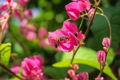 A abelha come o néctar e o pólen Fotos de Stock