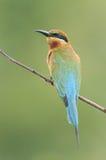 Abelha-comedor Azul-atado Fotos de Stock Royalty Free
