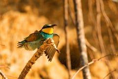 Abelha-comedor do pássaro exótico ou apiaster europeu do Merops fotos de stock royalty free