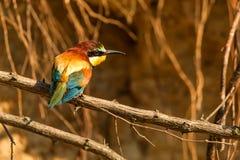 Abelha-comedor do pássaro exótico ou apiaster europeu do Merops fotos de stock