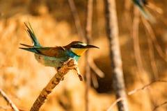 Abelha-comedor do pássaro exótico ou apiaster europeu do Merops imagens de stock