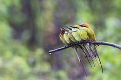 Abelha-comedor e chuva verdes foto de stock