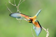 Abelha-comedor em oásis naturais fotografia de stock