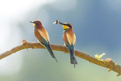 Abelha-comedor em oásis naturais fotos de stock