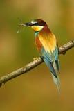 Abelha-comedor europeu, apiaster do Merops, pássaro bonito que senta-se no ramo com a libélula na conta Cena do pássaro da ação n Imagem de Stock Royalty Free