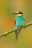 Abelha-comedor europeu, apiaster do Merops, pássaro bonito que senta-se no ramo com a libélula na conta Cena do pássaro da ação n Imagens de Stock Royalty Free