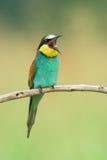 Abelha-comedor que canta em um ramo Fotografia de Stock