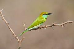 Abelha-comedor verde pequeno, orientalis do Merops, pássaro raro verde e amarelo exótico de Sri Lanka Fotos de Stock Royalty Free