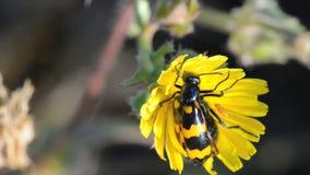 Abelha-comendo besouros (apiarus de Trichodes) vídeos de arquivo