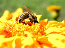 Abelha da abelha Foto de Stock
