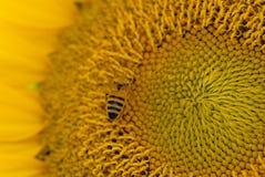 Abelha da exploração agrícola que faz o cultivo natural Fotos de Stock Royalty Free