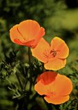 Abelha da flor da papoila Foto de Stock