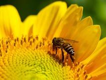 Abelha de alimentação dentro do girassol de florescência na luz do dia Fotografia de Stock Royalty Free
