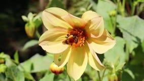 Abelha de carpinteiro ocupada que recolhe o pólen de uma flor amarela de florescência do cosmos e então que voa rapidamente fora  video estoque
