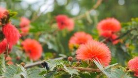 A abelha de carpinteiro recolhe o pólen das flores video estoque