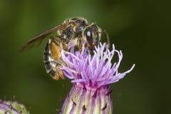 Abelha de mineração que sonda para o néctar em uma flor roxa do cardo Fotografia de Stock Royalty Free