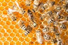 Abelha de rainha na colmeia da abelha que coloca ovos fotografia de stock royalty free