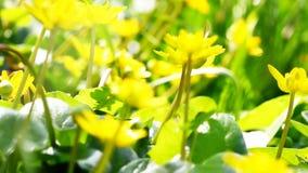 A abelha de trabalhador do voo recolhe o néctar do campo de flores amarelas vídeos de arquivo
