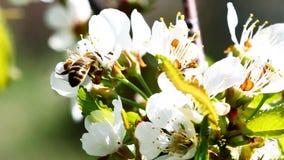 A abelha de trabalhador do voo recolhe o néctar do campo de flores amarelas filme