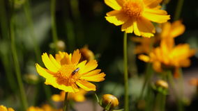 A abelha de trabalhador do voo recolhe o néctar do campo de flores amarelas video estoque