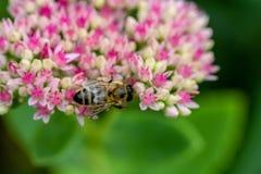 Abelha de trabalho dura em umas flores cor-de-rosa e vermelhas delicadas de Sedum Fotos de Stock