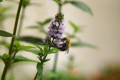 Abelha de trabalho em uma flor - cor clara no fundo Imagens de Stock Royalty Free