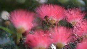 A abelha de trabalho está colhendo o néctar das flores vermelhas cor-de-rosa do sopro de pó para o mel video estoque