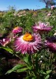 Abelha de trabalho na flor do crisântemo fotografia de stock