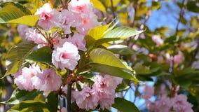 Abelha de trabalho que recolhe o pólen da árvore de florescência de sakura na primavera vídeos de arquivo