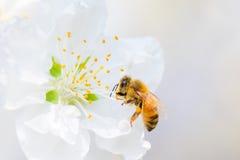 Abelha do mel imagens de stock