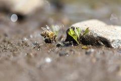 Abelha do mel - coleta da água Imagem de Stock Royalty Free