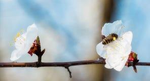 Abelha do mel em Cherry Blossom na mola com foco macio, SE de Sakura imagem de stock royalty free