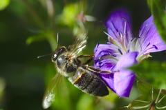 Abelha do mel em flores do lila imagem de stock royalty free