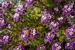 Abelha do mel em flores roxas fotografia de stock royalty free