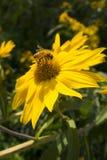 Abelha do mel em uma grande margarida amarela com escuro - fundo frondoso verde do jardim imagens de stock royalty free