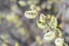 Abelha do mel em voo que aproxima a árvore de fruto de florescência durante o lov Fotografia de Stock Royalty Free