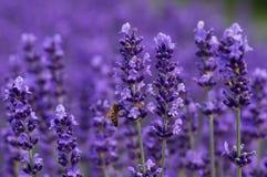 Abelha do mel na alfazema Fotos de Stock