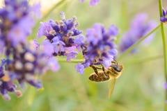 Abelha do mel na alfazema Foto de Stock Royalty Free