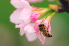 Abelha do mel na flor fotos de stock