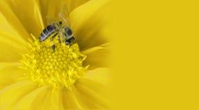 Abelha do mel na flor fotografia de stock