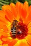 Abelha do mel na flor alaranjada Foto de Stock Royalty Free
