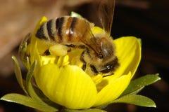 Abelha do mel na flor amarela Foto de Stock