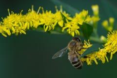 Abelha do mel na flor amarela Fotografia de Stock