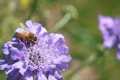 Abelha do mel na flor de coxim roxa do pino fotos de stock