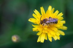 Abelha do mel no dente-de-leão Fotografia de Stock Royalty Free