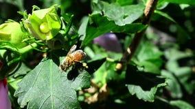 Abelha do mel que coleta o pólen filme