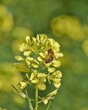 Abelha do mel que poliniza flores selvagens Imagens de Stock Royalty Free