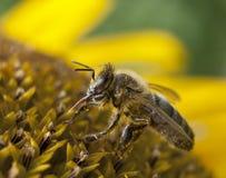 Abelha do mel que pollinating o girassol Fotos de Stock
